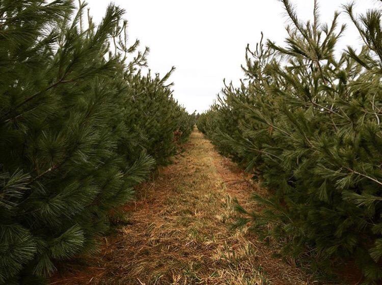 christmas tree grove
