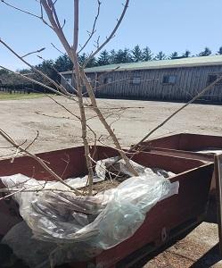 Elliott Tree Farm Sugar Maple Landscape Tree 6-10FT