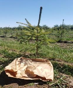 landscape tree in ground